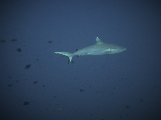 Grey Reef Shark 2